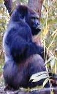 gorila chavez