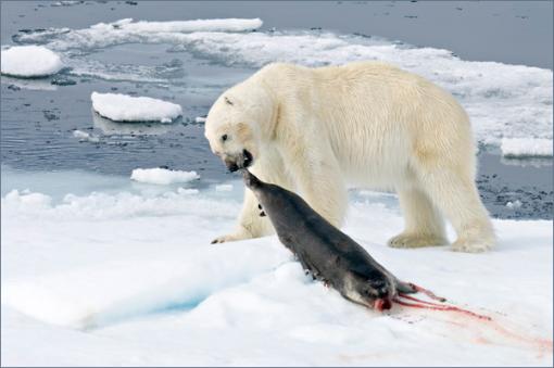 oso-come-foca