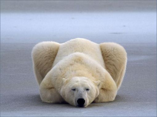 oso-polar-ni-puto-caso