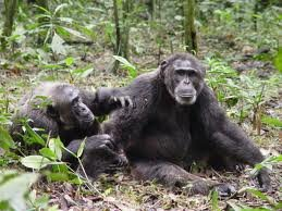 chimpas-gestos