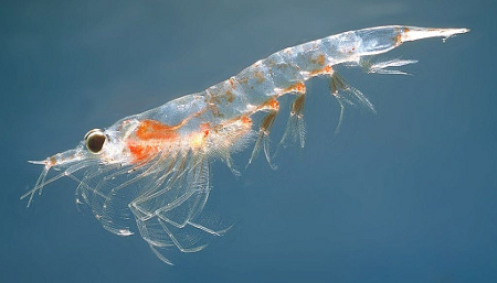 krill-wiipedia