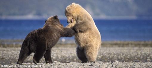 oso-pardo-rubio.png