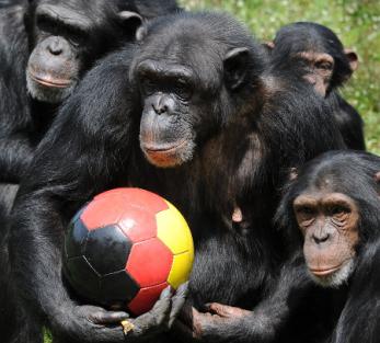 chimpas-equipo