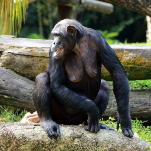 vegana-chimpance