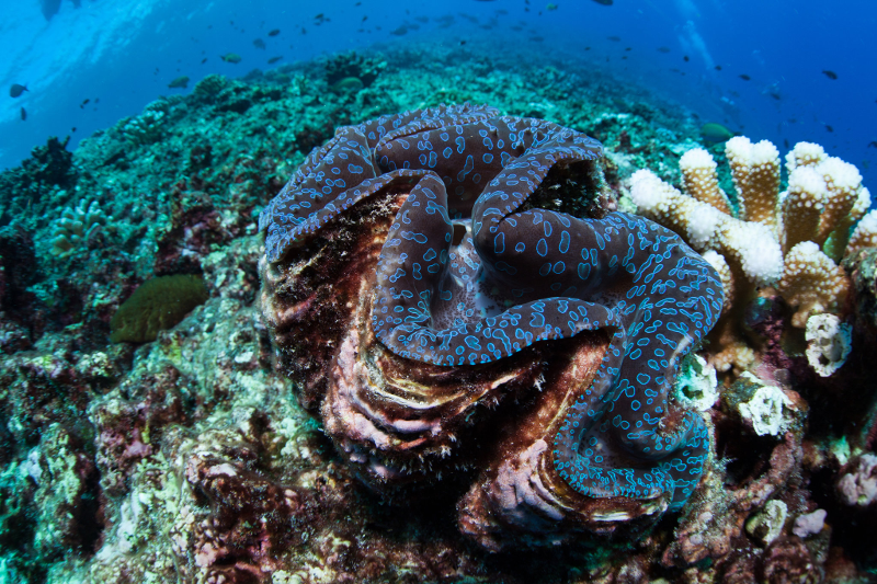 phoenix-is-clam-coral