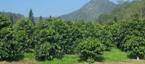 Coffee_trees_farm_USDAgov_wikicommons_CROPPED