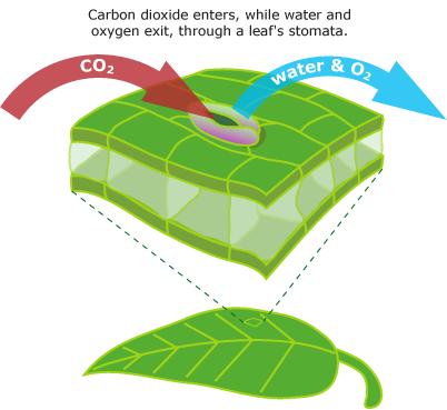 plantas-estomas-co2-agua