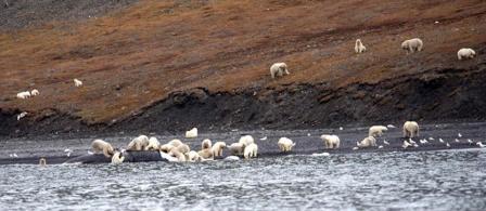 wrangler-island-osos-polares