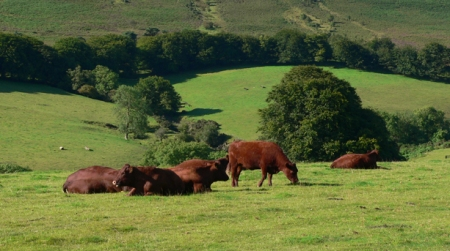 foodie-breal-red-ruby-cattle-exmoor-farm