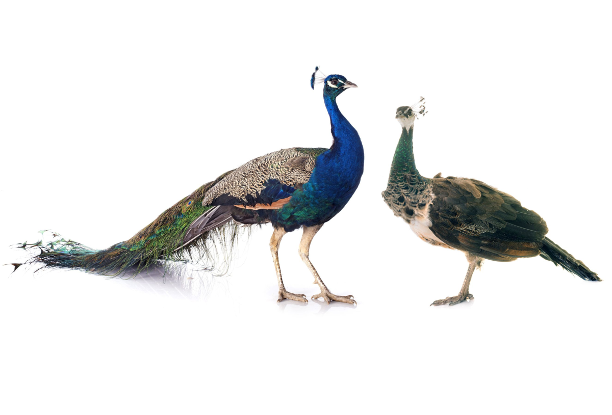 pavo-real-pareja